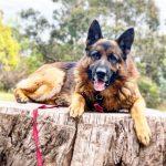Tamara Di Santo German Shepherd Best Friend Dog Care dog training, behaviour and relation ship coach Adelaide South Australia