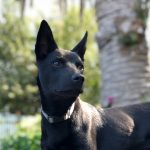 kelpie Best Friend Dog Care dog training, behaviour and relation ship coach Adelaide South Australia