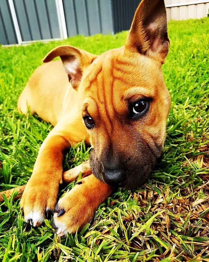Puppy training, potty training, stop dog peeing inside, sharpei cross puppy, best friend dog care adelaide, tamara di santo, dog training adelaide