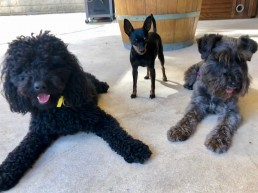 dog behavioural training, Tamara Di Santo Best Friend Dog Care, dog training, behaviour and relation ship coach Adelaide South Australia, living with dogs, miniture Pinschure, Miniature Poodle, Miniature Schnauzer