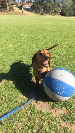 Tdog behavioural training, Tamara Di Santo Best Friend Dog Care, dog training, behaviour and relation ship coach Adelaide South Australia, living with dogs, Mr Chuck Dachshund