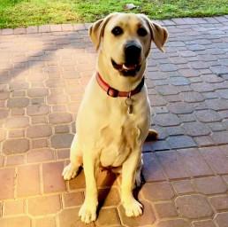 dog behavioural training, Tamara Di Santo Best Friend Dog Care, dog training, behaviour and relation ship coach Adelaide South Australia, living with dogs, Labradore training
