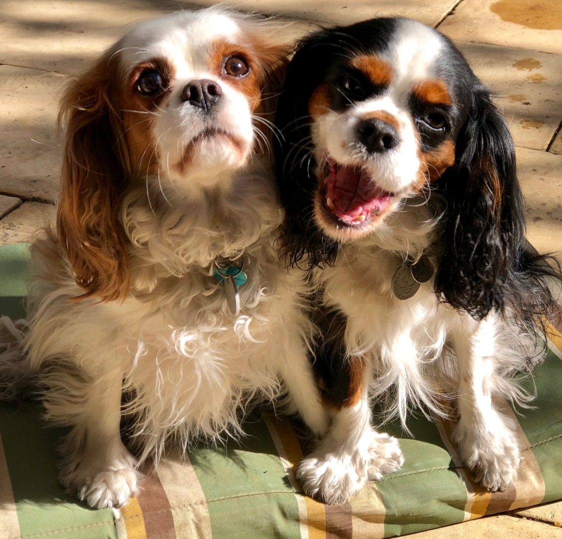 dog behavioural training, Tamara Di Santo Best Friend Dog Care, dog training, behaviour and relation ship coach Adelaide South Australia, living with dogs, king charles cavaliers