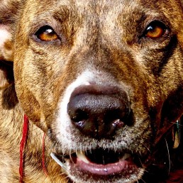 dog behavioural training, Tamara Di Santo Best Friend Dog Care, dog training, behaviour and relation ship coach Adelaide South Australia, living with dogs, jack russell cross staffy
