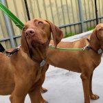 How to walk two dogs on leash Viszla, dog behavioural training, Tamara Di Santo Best Friend Dog Care, dog training, behaviour and relation ship coach Adelaide South Australia