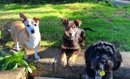 dog behavioural training, Tamara Di Santo Best Friend Dog Care, dog training, behaviour and relation ship coach Adelaide South Australia, living with dogs, kelpie dog training