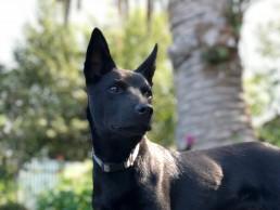 kelpiedog behavioural training, Tamara Di Santo Best Friend Dog Care, dog training, behaviour and relation ship coach Adelaide South Australia, living with dogs