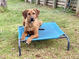 Puppy training adelaide, adelaide puppy training, ridgeback training, dog training adelaide, adelaide dog training,