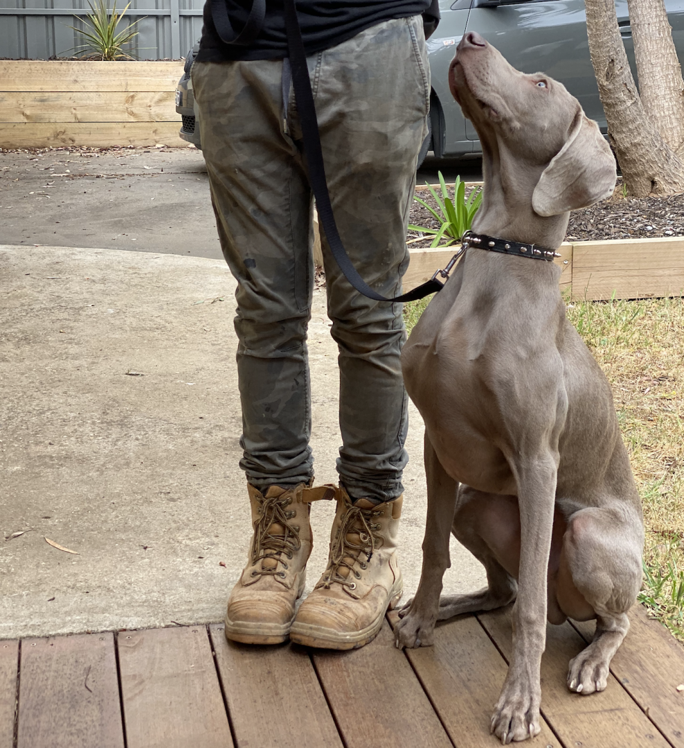 training, best friend dog care, dog training adelaide, tamara di santo, dog training, dog behaviour, adeladie dog training, positive dog training, adelaide reward training, dog training on line, traing my dog, dog training adelaide #dogtrainingadelaide