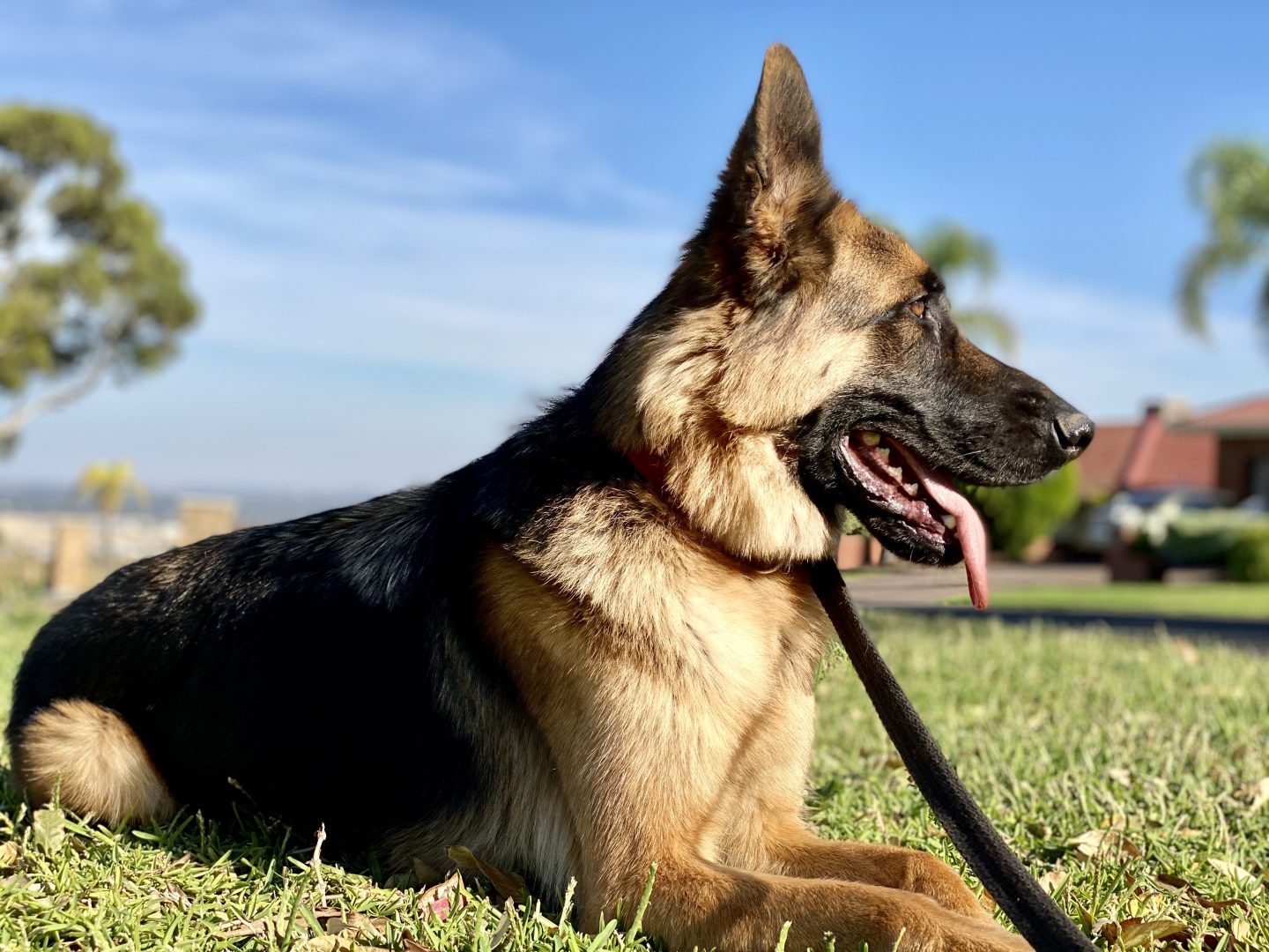 German Shephard Training