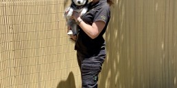 Japanese Spitz cross huskey, spitzky, train my puppy adelaide