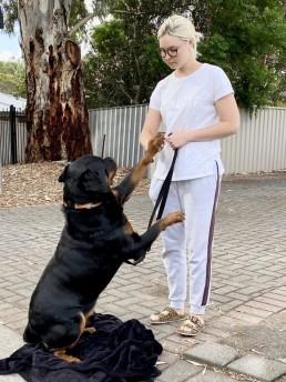 training, best friend dog care, dog training adelaide, tamara di santo, dog training, dog behaviour, adeladie dog training, positive dog training, adelaide reward training, rottwieler training