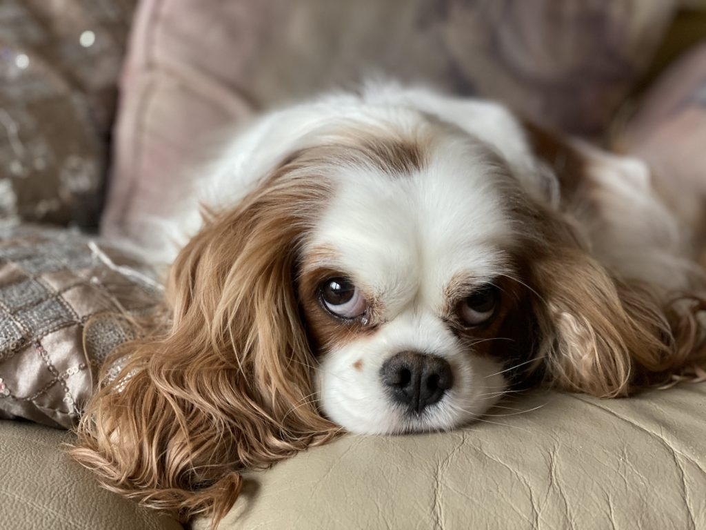 best friend dog care behaviour and training adelaide, king charles cavalier, body language, dog body language, tamara di santo, best friend, #dogbodylanguage #speakdog #talkingdogwithtamara #talkingdog #kingcharlescavalier