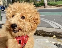 Leah Itsinis Wally Miniature Groodle, puppy training adelaide, dog obedience, dog training adelaide