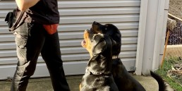 Tamara Di Santo Dog trainer Adelaide, dog training adelaide, puppy training adelaide, puppy school adelaide