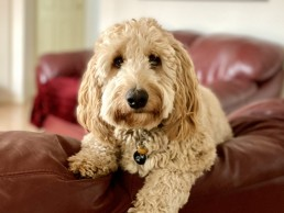 dog trainer, training with tamara ,dog training, puppy training, online dog training, dog walking, dog walker adelaide, trick training for dogs, how to train puppy, best friends, best friend dog training, oodle