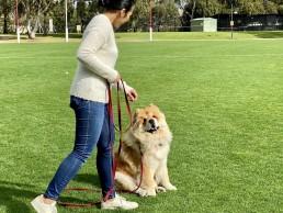 dog trainer, training with tamara ,dog training, puppy training, online dog training, dog walking, dog walker adelaide, trick training for dogs, how to train puppy, best friends, best friend dog training, chow chow, impulse training