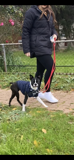 dog trainer, training with tamara ,dog training, puppy training, online dog training, dog walking, dog walker adelaide, trick training for dogs, how to train puppy, best friends, best friend dog training, walking with manners, boston terrier