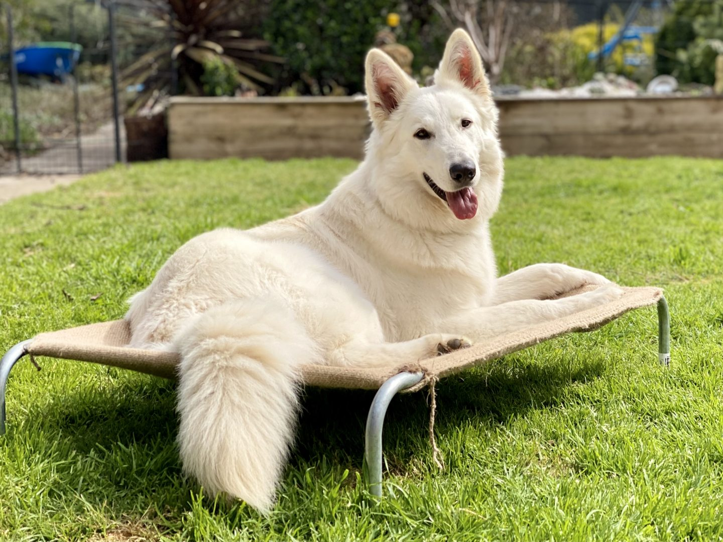 dog trainer, training with tamara ,dog training, puppy training, online dog training, dog walking, dog walker adelaide, trick training for dogs, how to train puppy, best friends, best friend dog training, white shepherd, white dog
