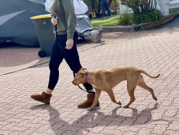 dog trainer, training with tamara ,dog training, puppy training, online dog training, dog walking, dog walker adelaide, trick training for dogs, how to train puppy, best friends, best friend dog training, training loose leash, walking with manners, no pulling on the leash
