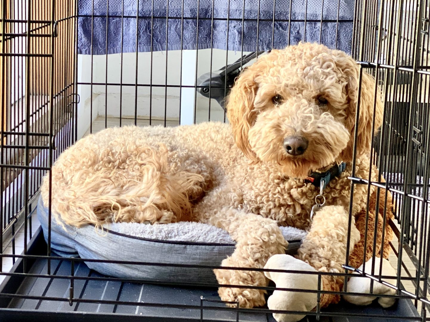 dog trainer, training with tamara ,dog training, puppy training, online dog training, dog walking, dog walker adelaide, trick training for dogs, how to train puppy, best friends, best friend dog training, groodle