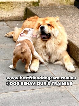 dog trainer, training with tamara ,dog training, puppy training, online dog training, dog walking, dog walker adelaide, trick training for dogs, how to train puppy, best friends, best friend dog training, british bulldog puppy, chow chow