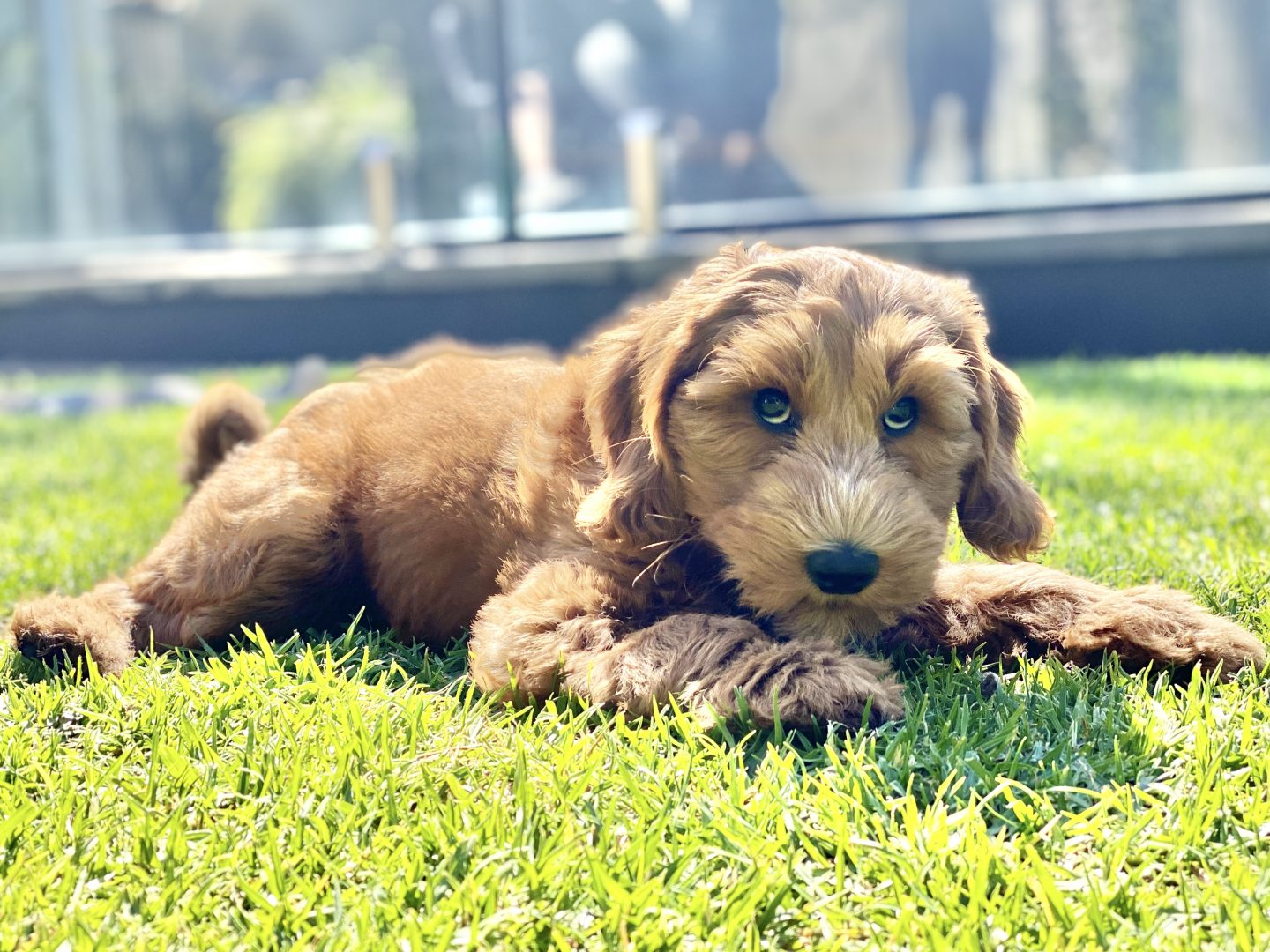 dog trainer, training with tamara ,dog training, puppy training, online dog training, dog walking, dog walker adelaide, trick training for dogs, how to train puppy, best friends, best friend dog training, aussie dog