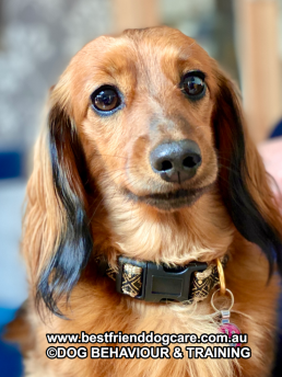 dog training online, best friend dog training, anxious dog, scared dog, my dog bites, box feeding, train my dog, dog obedience, stop dog pulling, scared dog