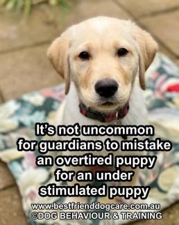 Puppy training adelaide, puppy bitting, naughty puppy, toilet training, labrador training, labrador puppy,