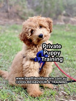 How to walk puppy on the leash, puppy training, walking with your best friend, tamara di santo, training with tamara, best puppy training